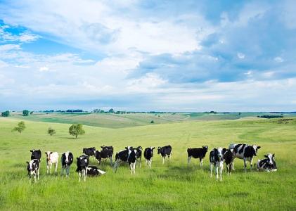 heifers in Monroe, Wisconsin