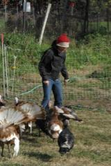 ibti and the turkeys - coyote run farm, lacona, ia