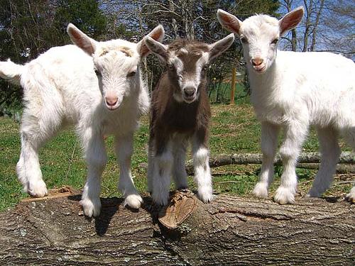 [Image: baby-goats.jpg]