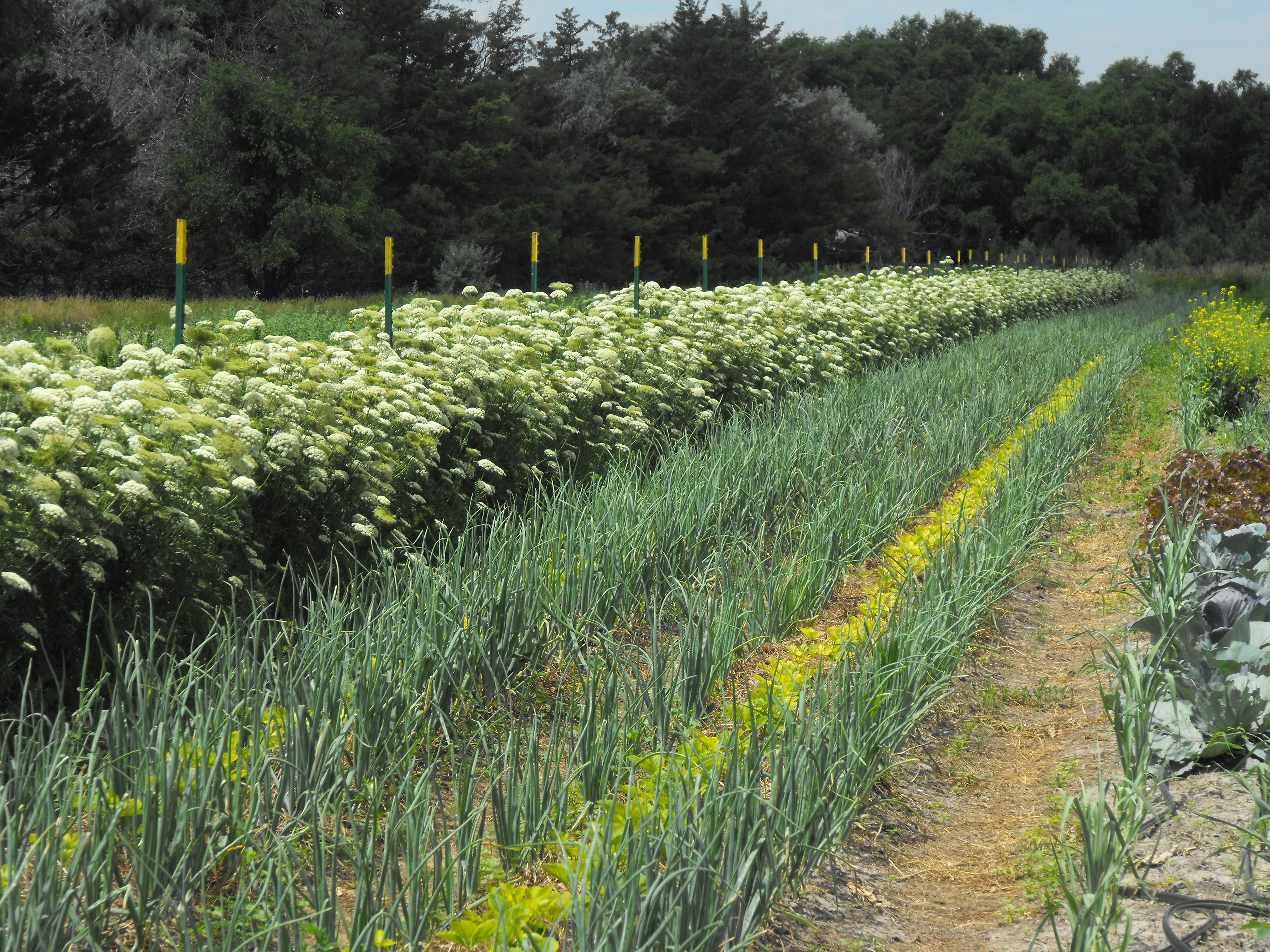 scarlet nantes flowering 2011 for seed