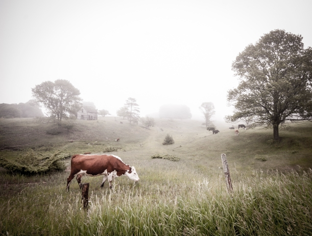 cows_in_fog