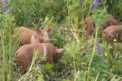 pigs-new2