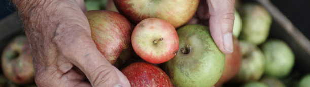heirloom apples diane hands