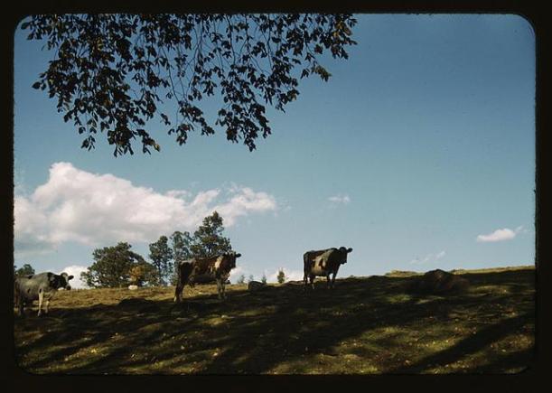 Two cows grazing hillside beneath tree