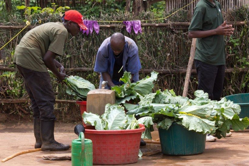 Three men cleaning large green vegetable leaves in large plastic buckets in Rwanda.