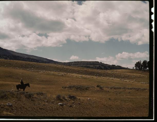 man on horseback with hundreds of range sheep on mountain