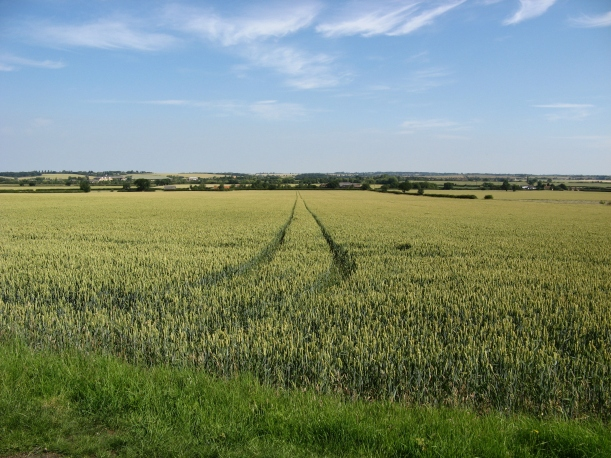 Wheat_fields_east_of_Tolleshunt_d'Arcy
