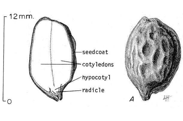 Jojoba.seed