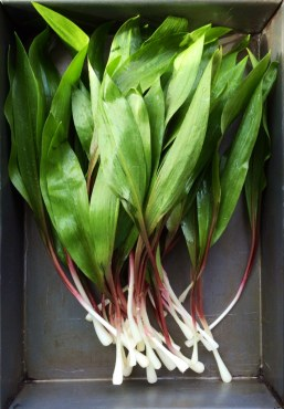 Ramps harvested whole, which Russ cautions against doing. Photo by Lauren Ganske https://www.flickr.com/photos/cedarsummitfarm/13999343610