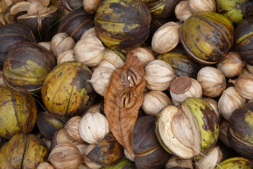 close-up of Hickory Nuts + Husks + shelled nuts