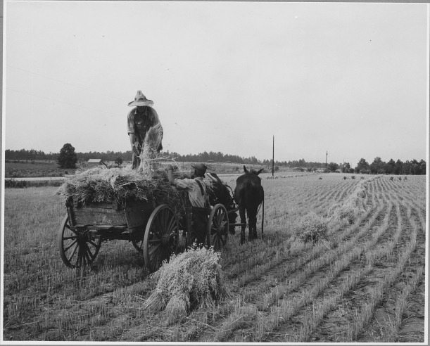Harmony_Community,_Putnam_County,_Georgia...._The_grain_in_this_small_field_was_cradled_by_hand._Her_._._._-_NARA_-_521327