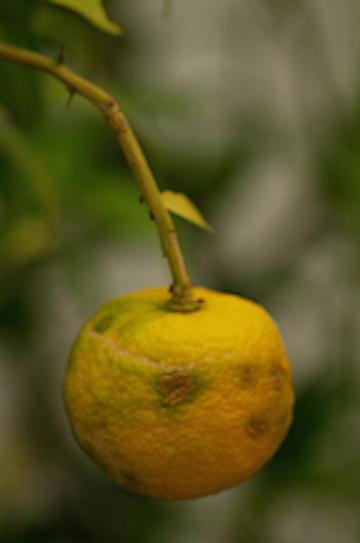 yuzufruit