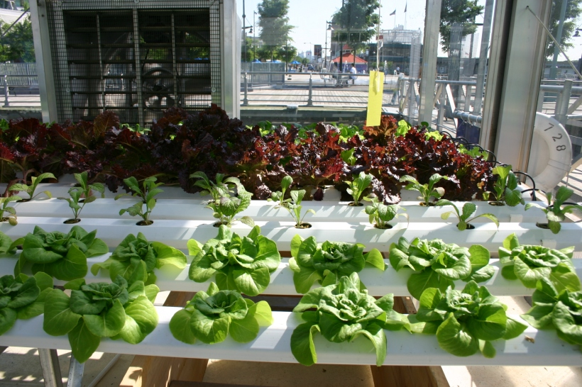leafy_greens_hydroponics