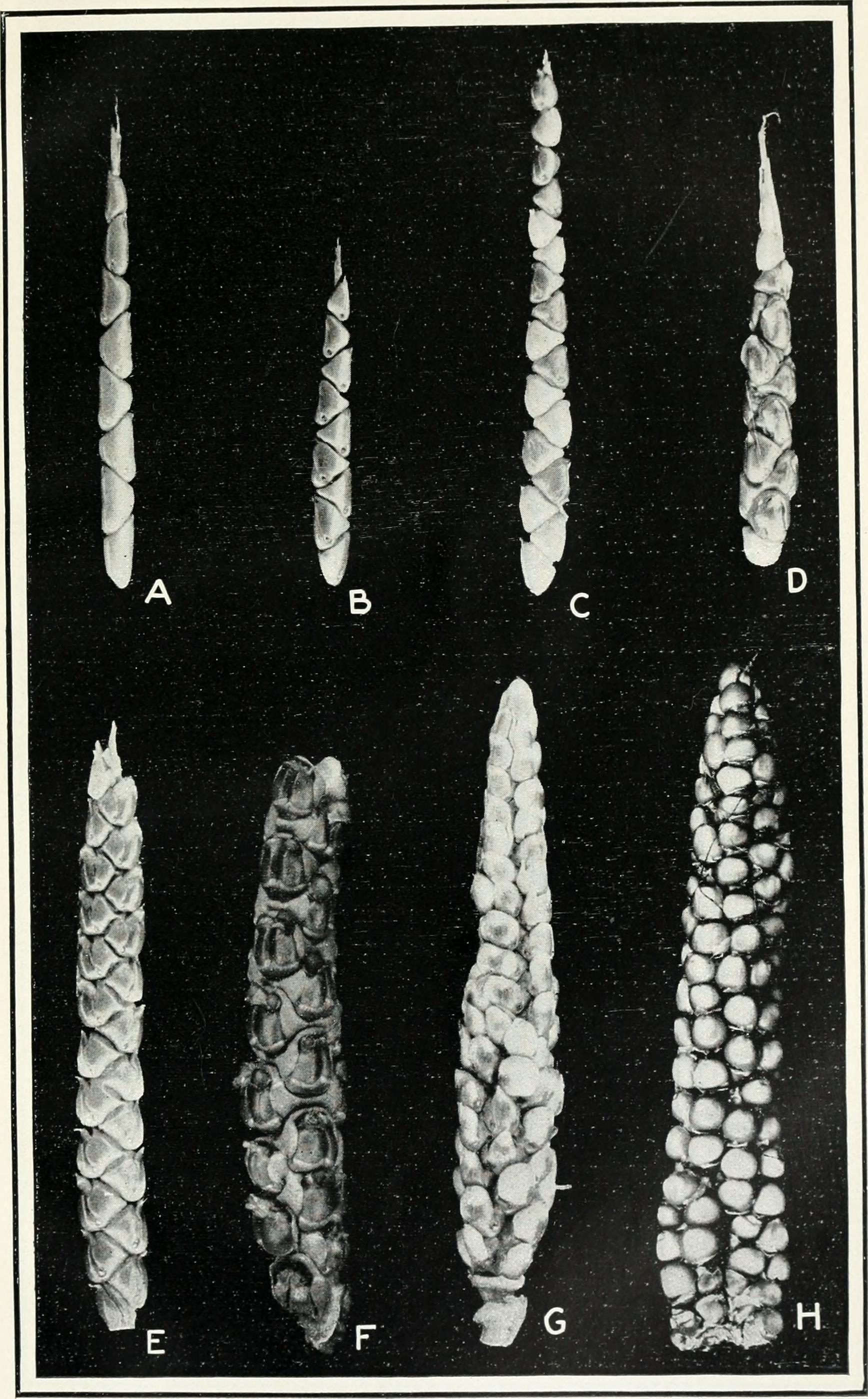 Journal_of_agricultural_research_(1919)_(14774293142)