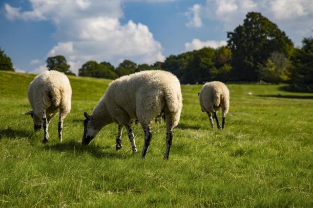 sheep-1468308429rKd