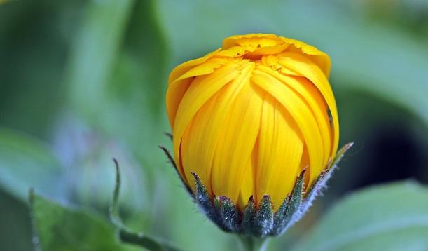 marigold-calendula-bud-open-122441