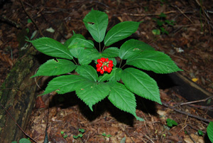 American-ginseng-with-fruit
