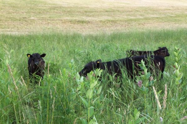 calves-in-deep-grass-600x398.jpeg